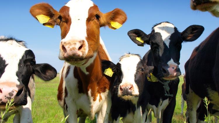 Dairy Farm Field Trip